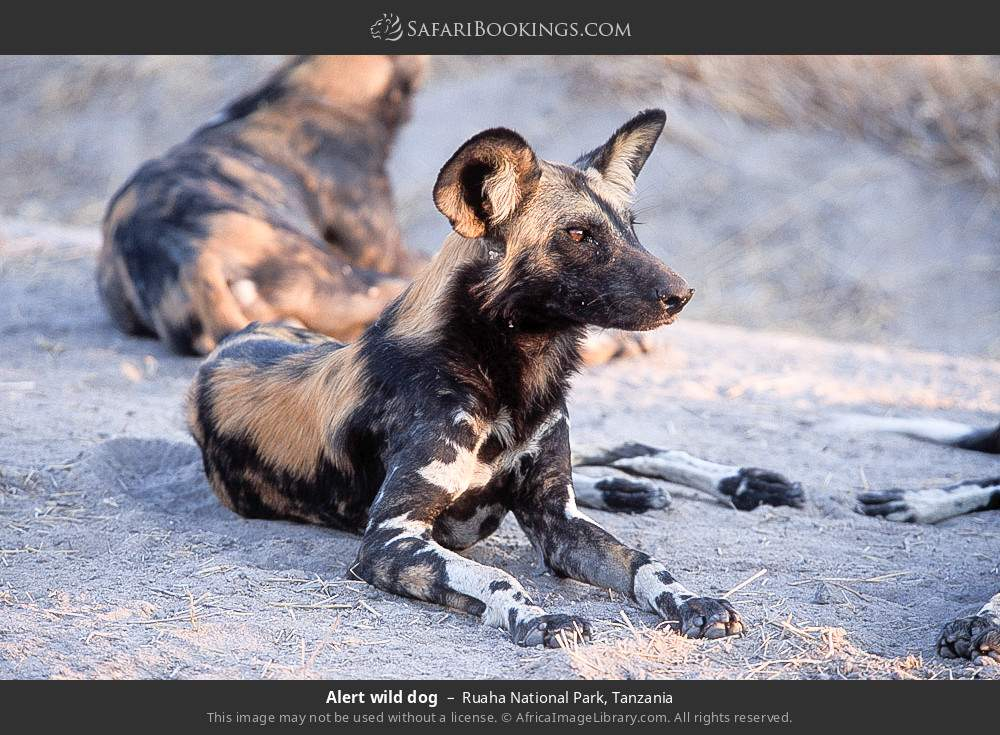 Alert wild dog in Ruaha National Park, Tanzania