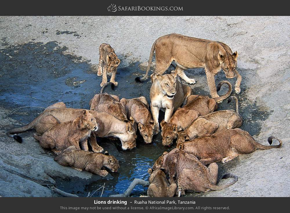 Lions drinking in Ruaha National Park, Tanzania