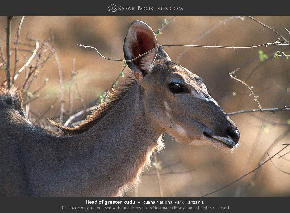 Head of Greater kudu in Ruaha National Park, Tanzania