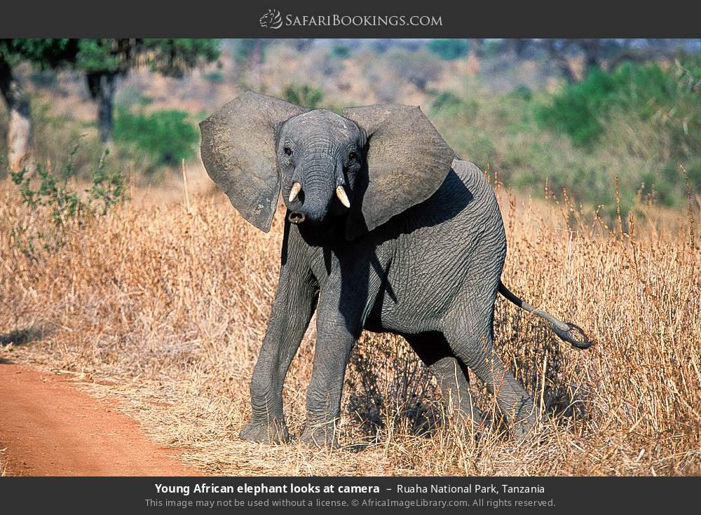 Young African elephant looks at camera in Ruaha National Park, Tanzania
