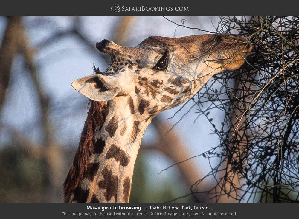 Masai giraffe browsing in Ruaha National Park, Tanzania