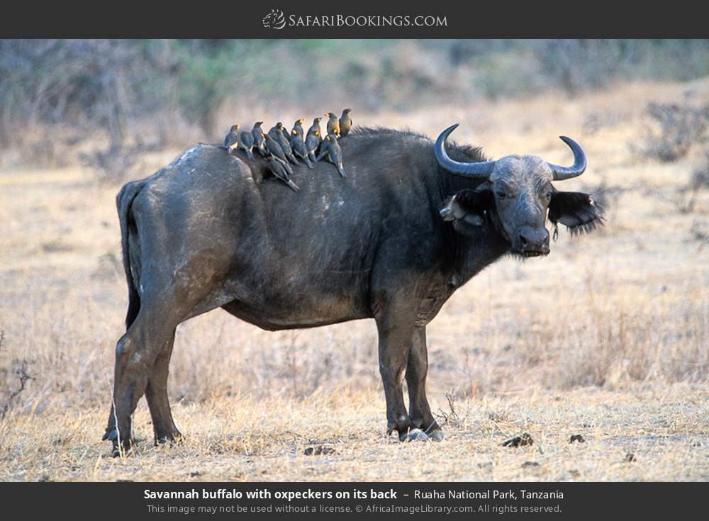 Savannah buffalo with oxpeckers on its back in Ruaha National Park, Tanzania