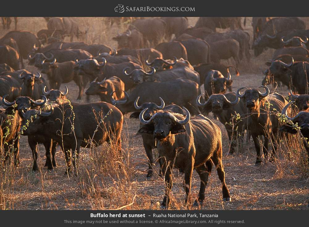 Buffalo herd at sunset in Ruaha National Park, Tanzania