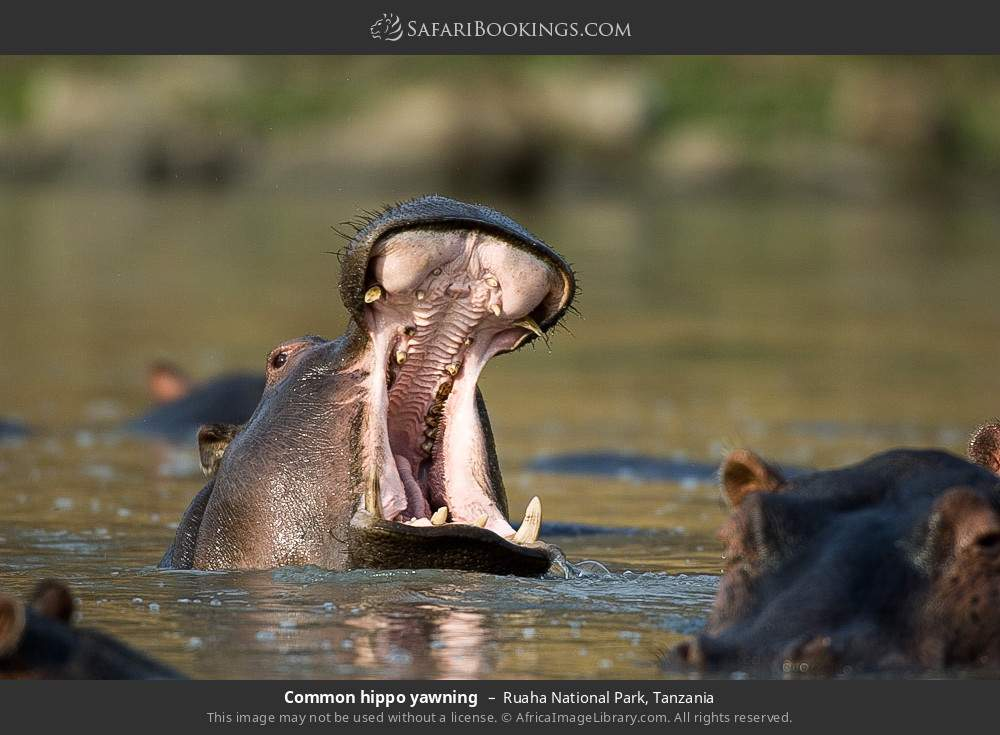Common hippo yawning in Ruaha National Park, Tanzania