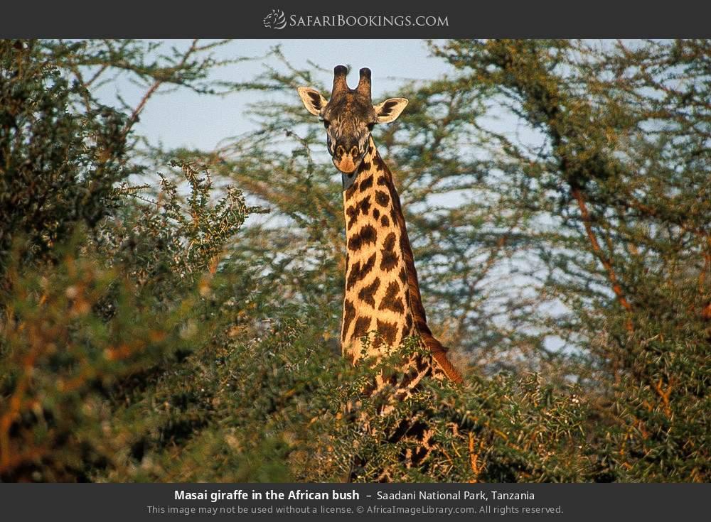 Masai giraffe in the African bush in Saadani National Park, Tanzania
