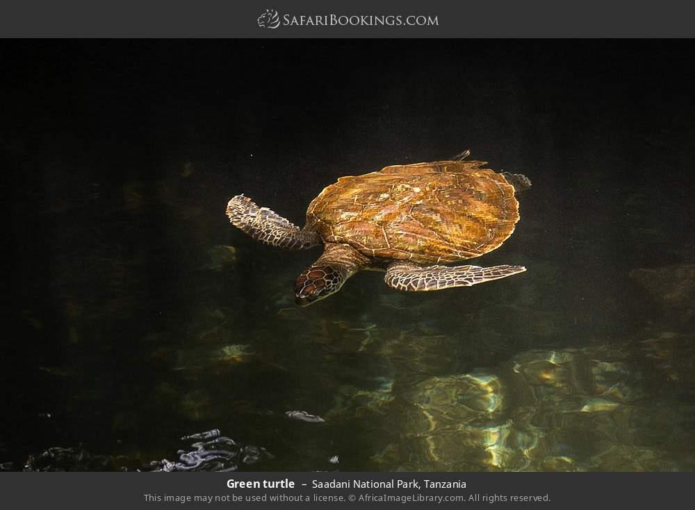 Green turtle in Saadani National Park, Tanzania