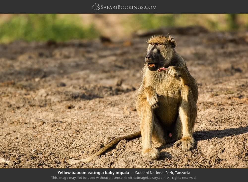 Yellow baboon eating a baby impala in Saadani National Park, Tanzania
