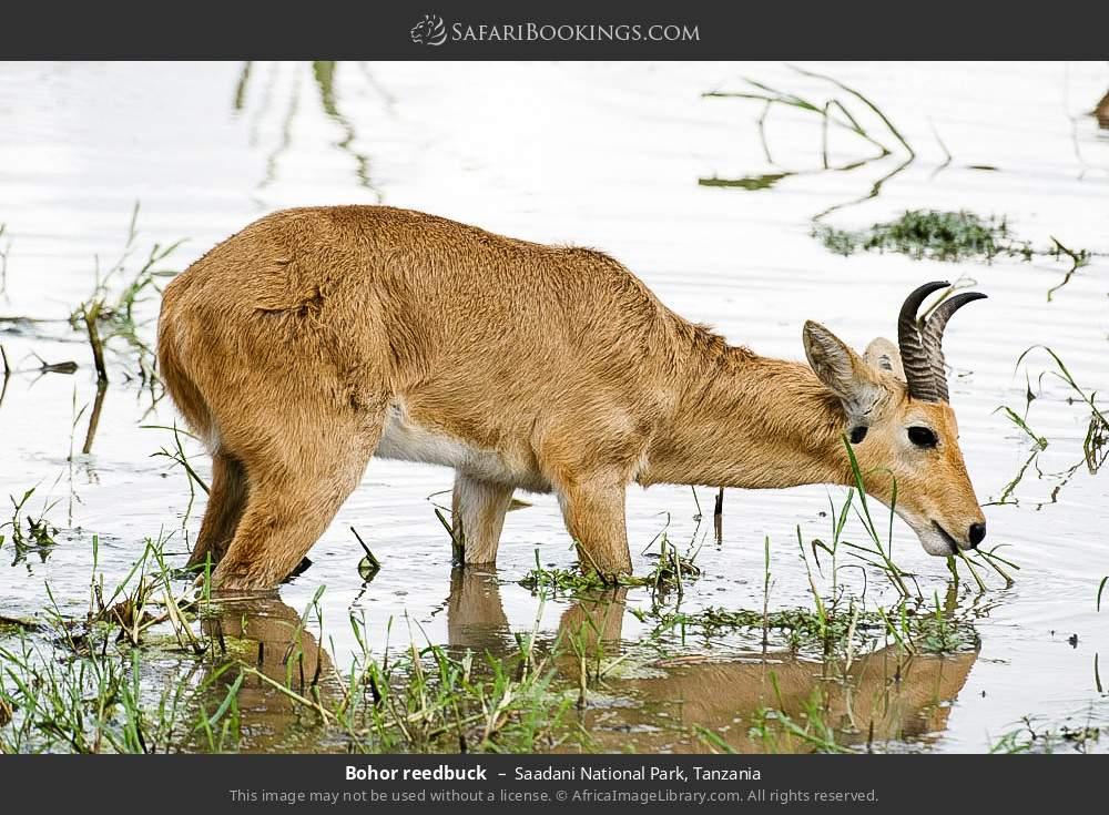 Bohor Reedbuck in Saadani National Park, Tanzania