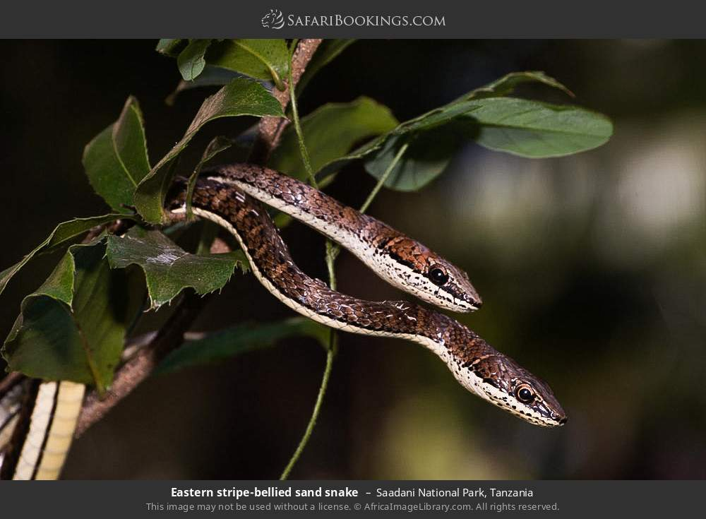 Eastern striped-bellied sand snake in Saadani National Park, Tanzania