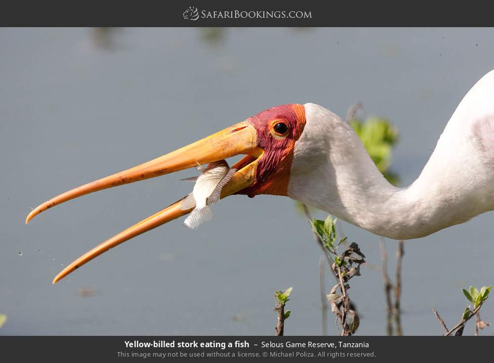 Yellow-billed stork eating a fish in Selous Game Reserve, Tanzania