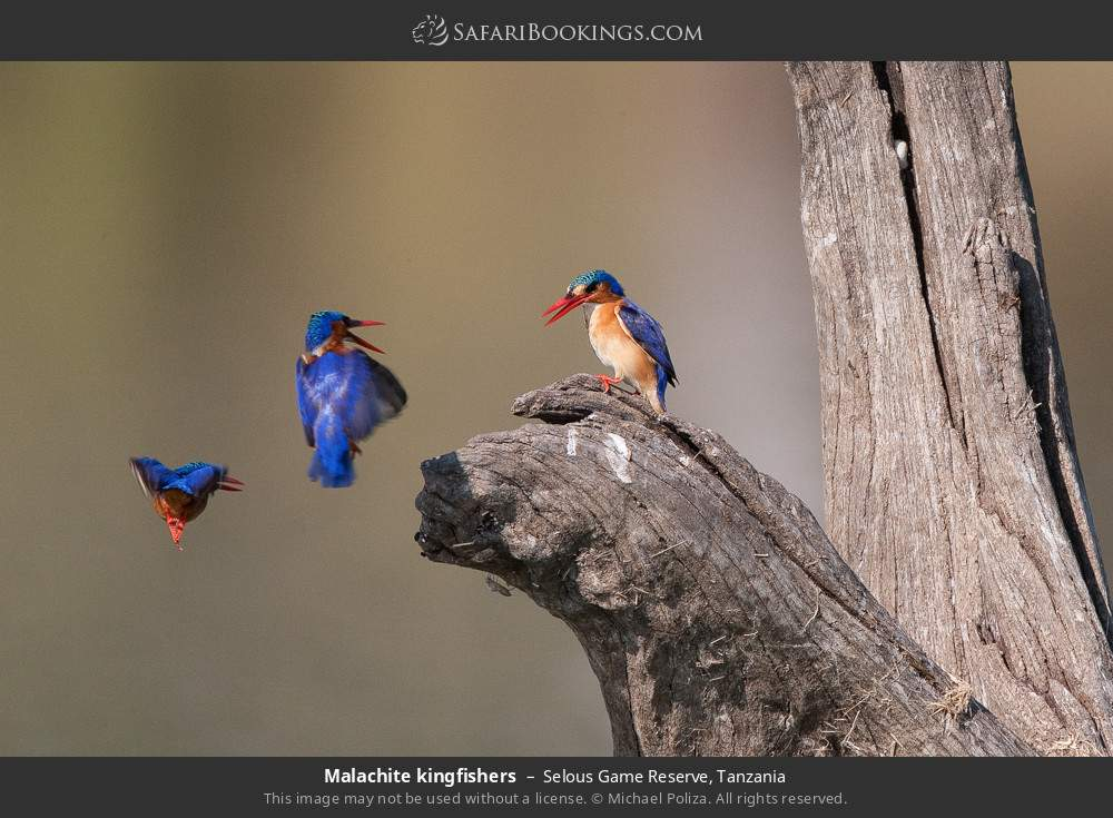 Malachite kingfishers in Selous Game Reserve, Tanzania