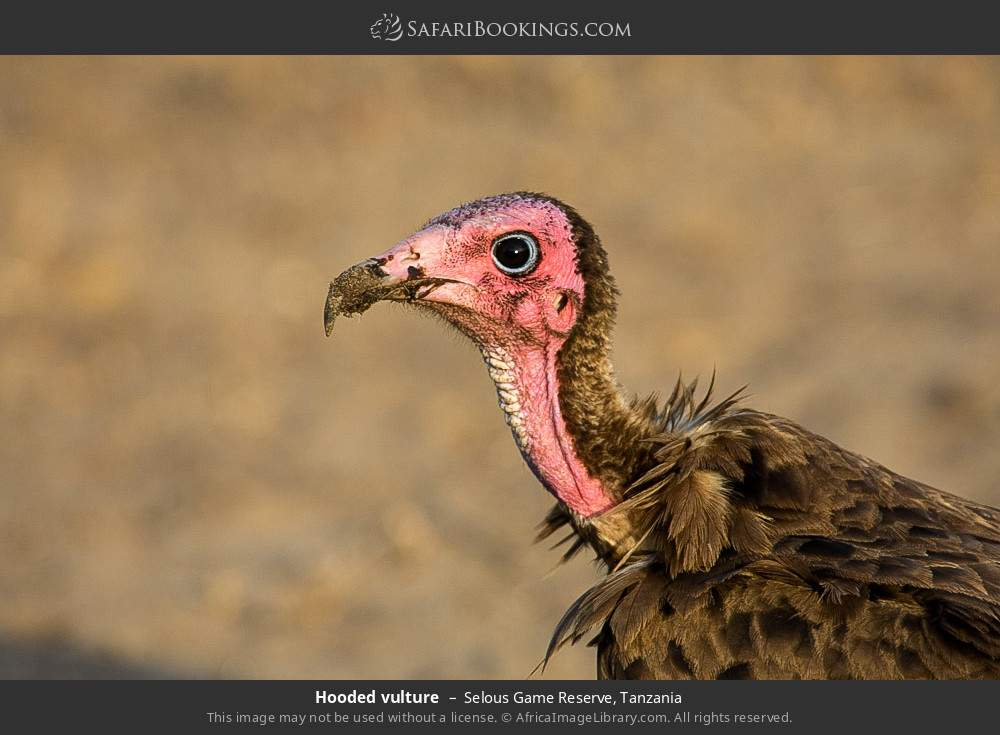 Hooded vulture in Selous Game Reserve, Tanzania