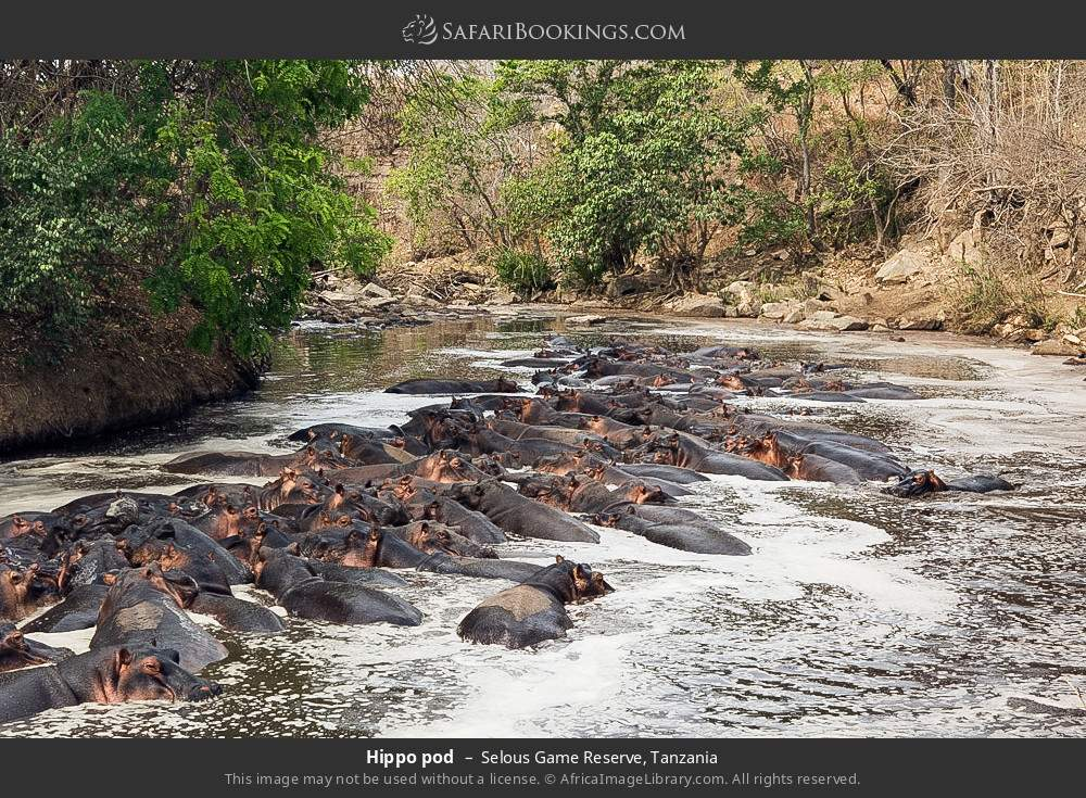 Hippo pod in Selous Game Reserve, Tanzania