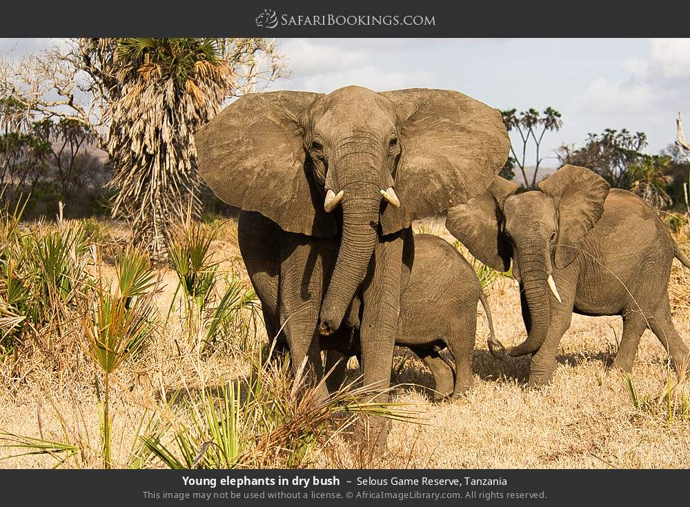 Young elephants in dry bush in Selous Game Reserve, Tanzania