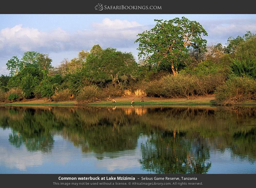 Common waterbuck at Lake Mzizimia in Selous Game Reserve, Tanzania