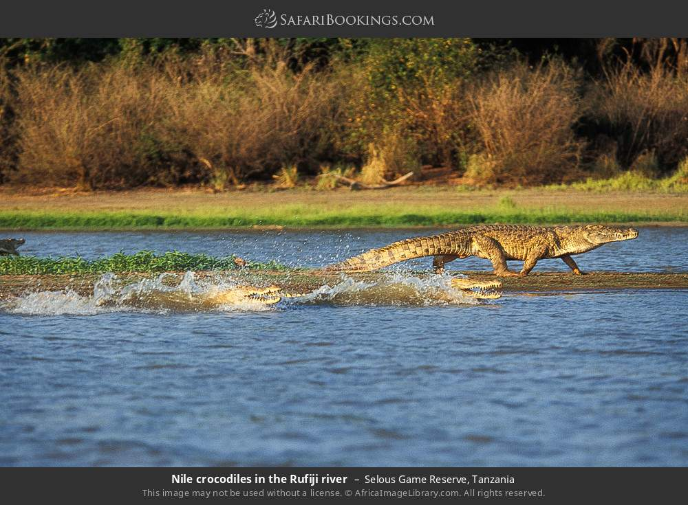 Nile crocodiles in the Rufiji river in Selous Game Reserve, Tanzania