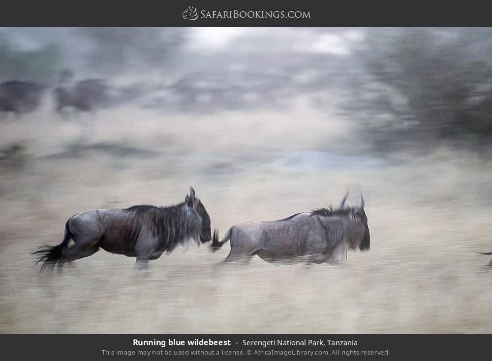 Running blue wildebeest in Serengeti National Park, Tanzania
