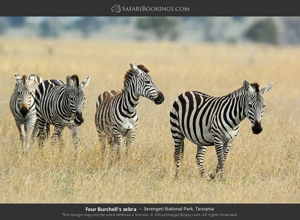 Four Burchell's zebra in Serengeti National Park, Tanzania