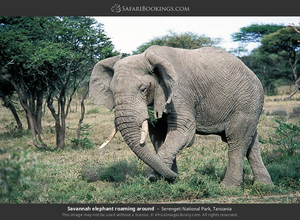 Savannah elephant roaming around in Serengeti National Park, Tanzania