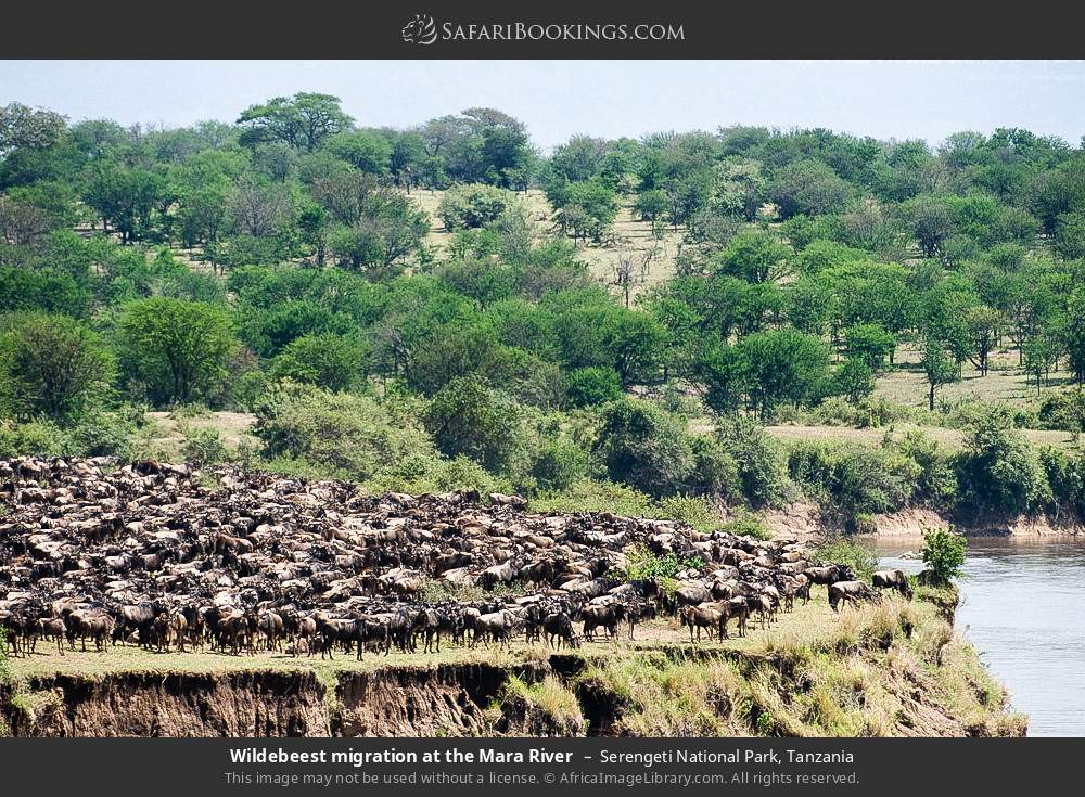 Wildebeest migration at the Mara River in Serengeti National Park, Tanzania