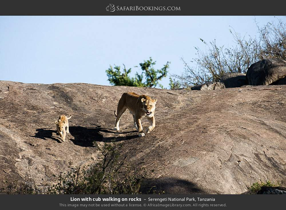 Lion with cub walking on rocks in Serengeti National Park, Tanzania