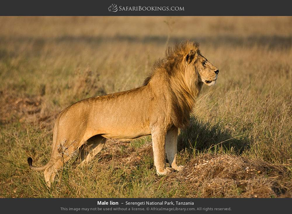 Male lion in Serengeti National Park, Tanzania