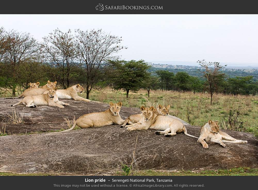 Lion pride in Serengeti National Park, Tanzania