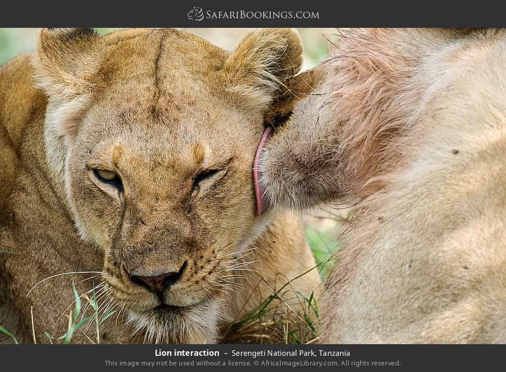 Lion interaction in Serengeti National Park, Tanzania