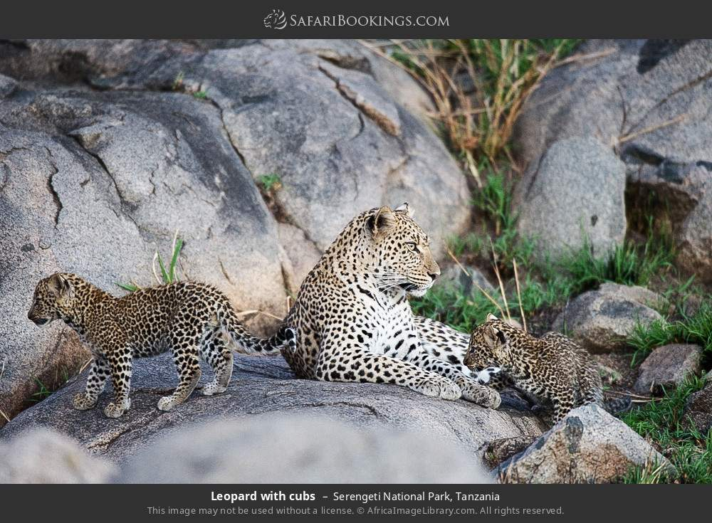 Leopard with cubs in Serengeti National Park, Tanzania