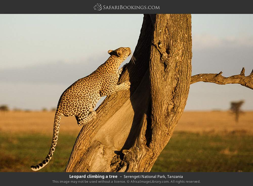 Leopard climbing a tree in Serengeti National Park, Tanzania