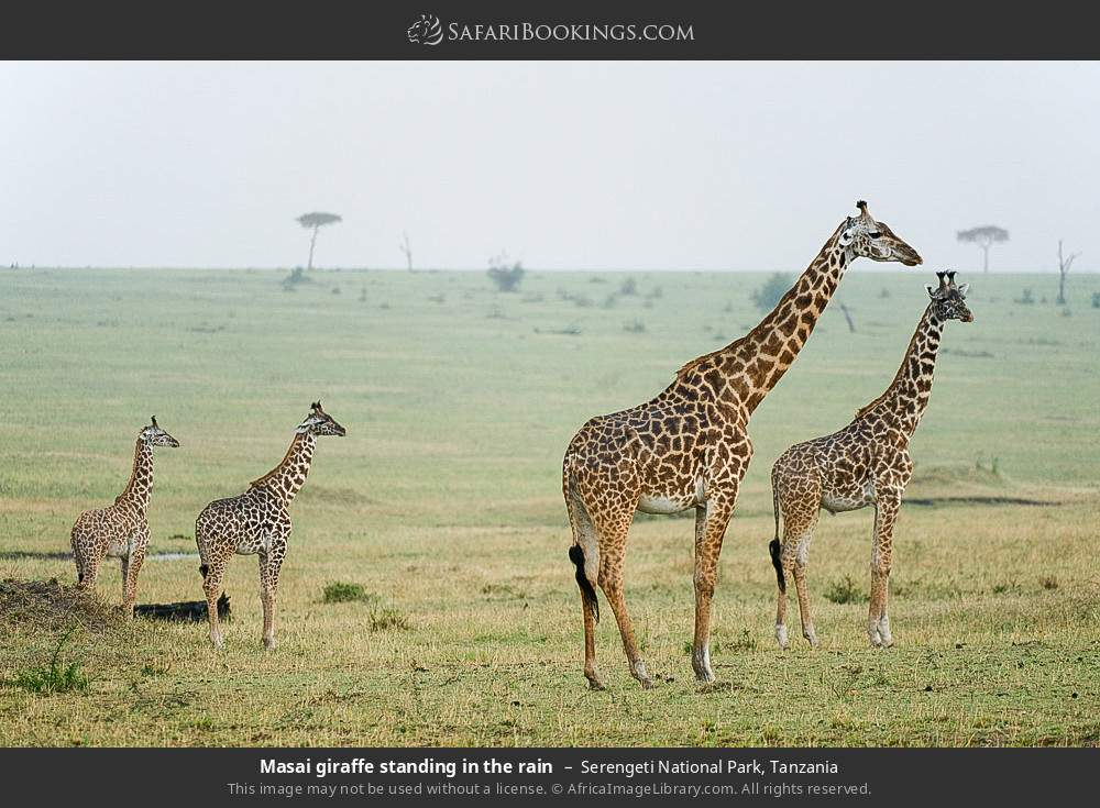 Masai giraffe standing in the rain in Serengeti National Park, Tanzania