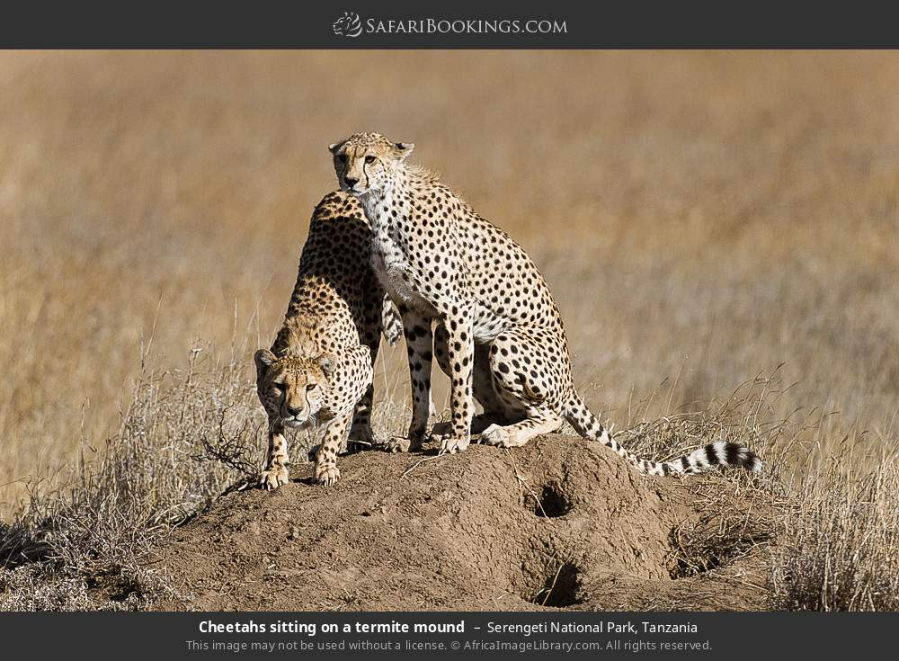 Cheetahs sitting on a termite mound in Serengeti National Park, Tanzania