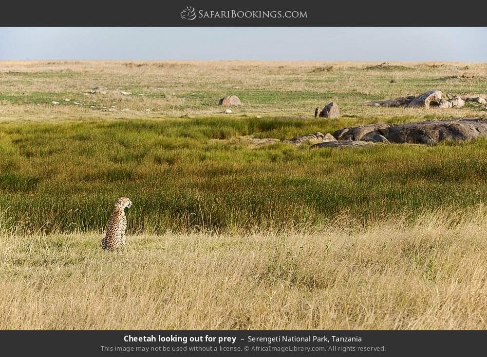 Cheetah looking out for prey in Serengeti National Park, Tanzania