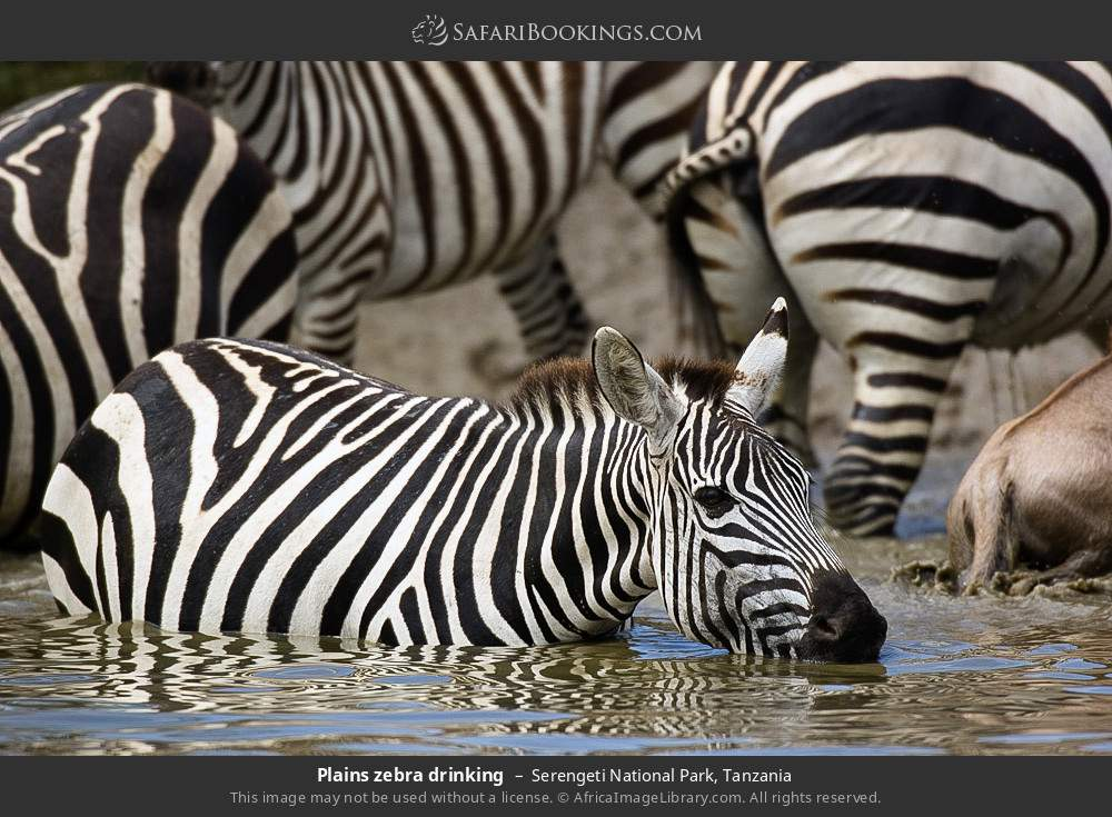 Plains zebra drinking in Serengeti National Park, Tanzania