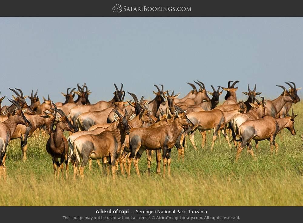 A herd of topi in Serengeti National Park, Tanzania