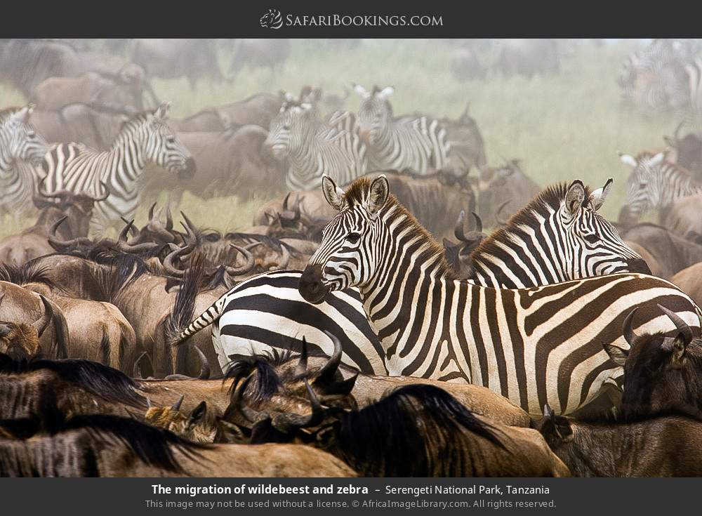 The migration of wildebeest and zebra in Serengeti National Park, Tanzania