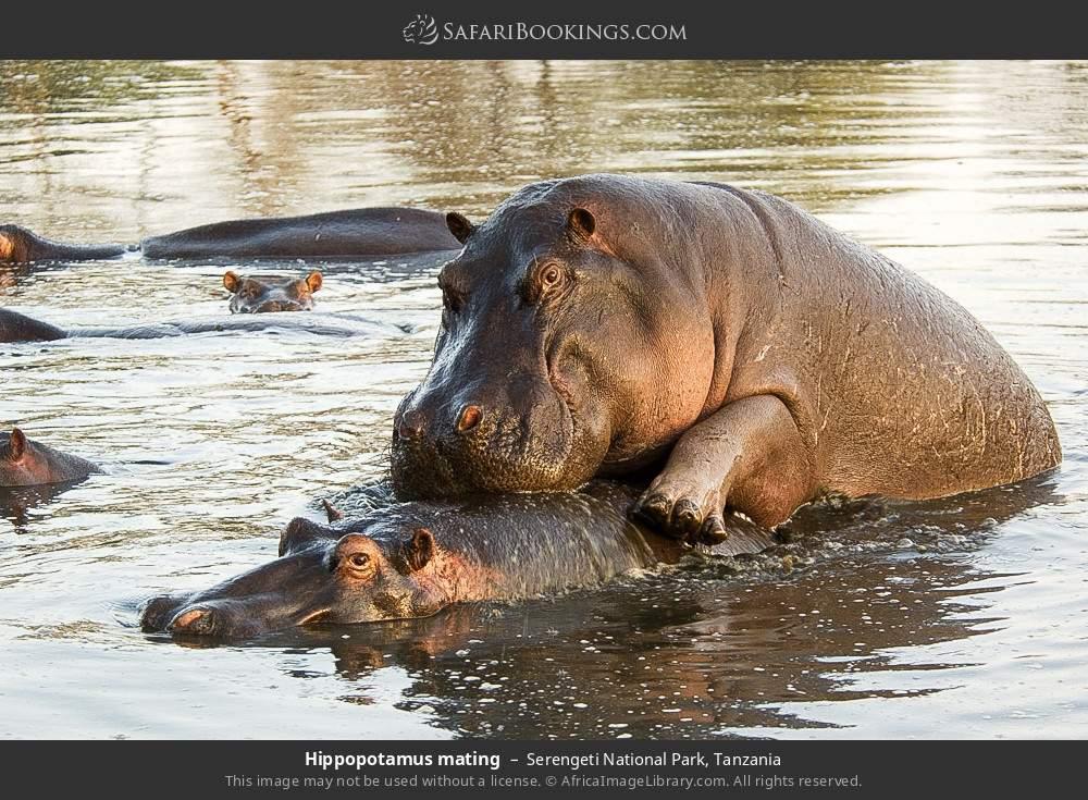 Hippopotamus mating in Serengeti National Park, Tanzania
