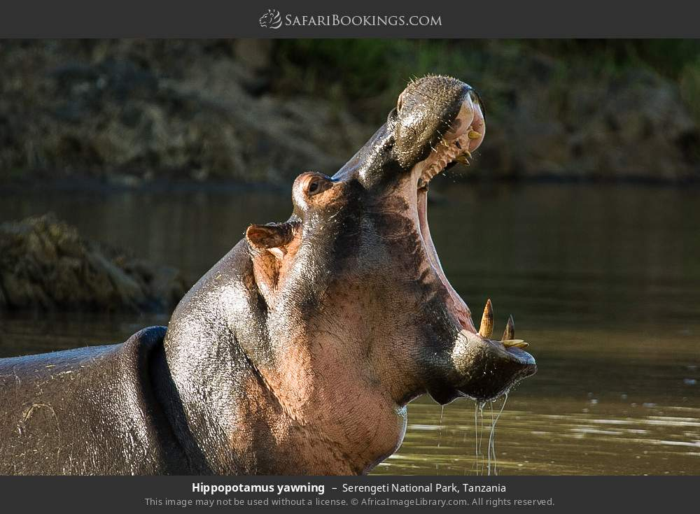 Hippopotamus yawning in Serengeti National Park, Tanzania