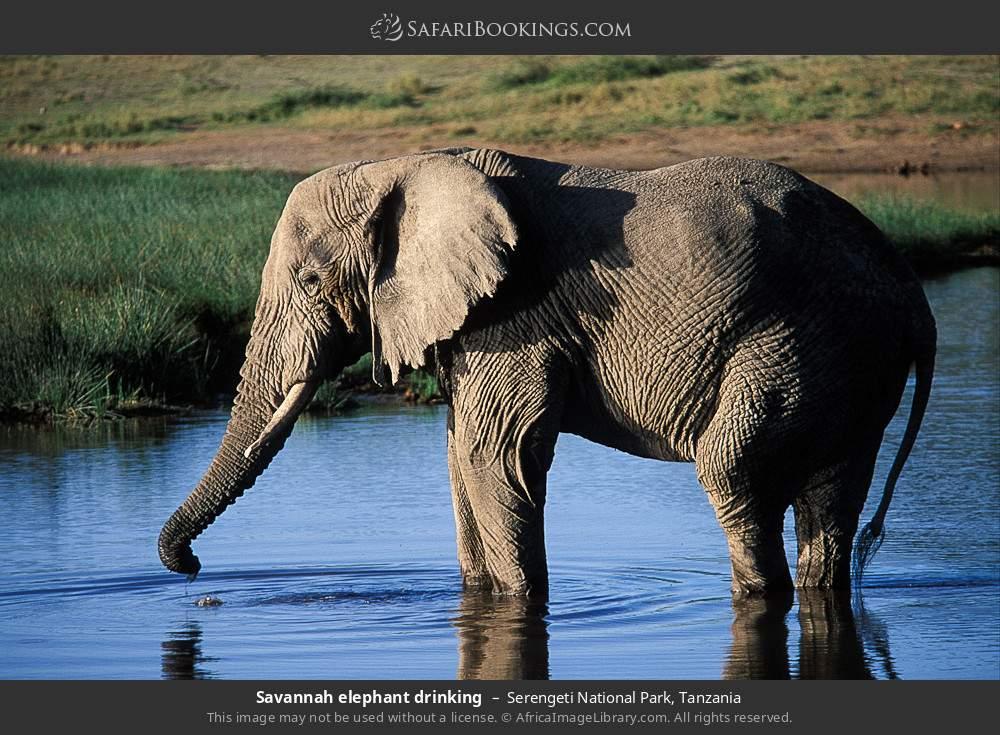 Savanna elephant drinking in Serengeti National Park, Tanzania