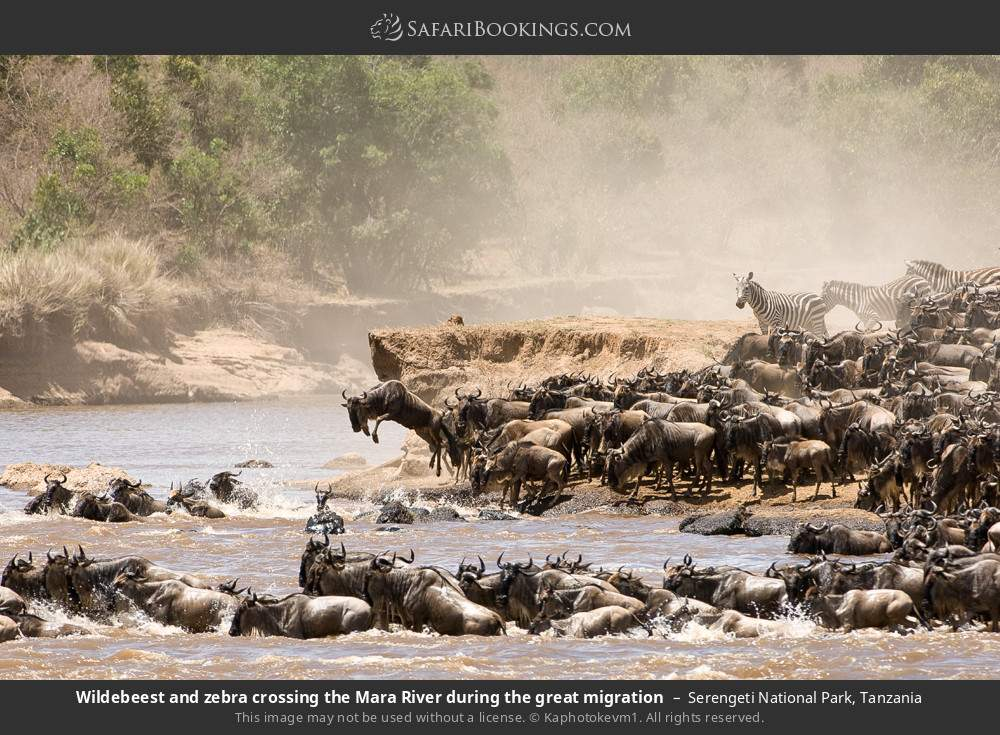 Wildebeest and zebra crossing the Mara River during the great migration in Serengeti National Park, Tanzania