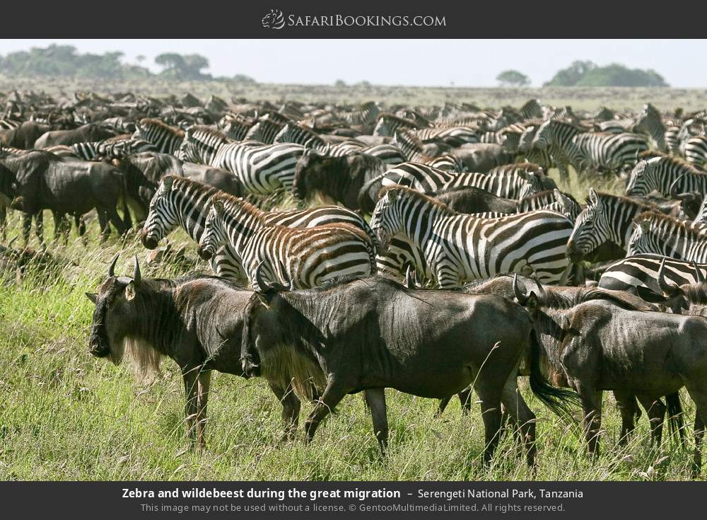 Zebra and wildebeest during the great migration in Serengeti National Park, Tanzania