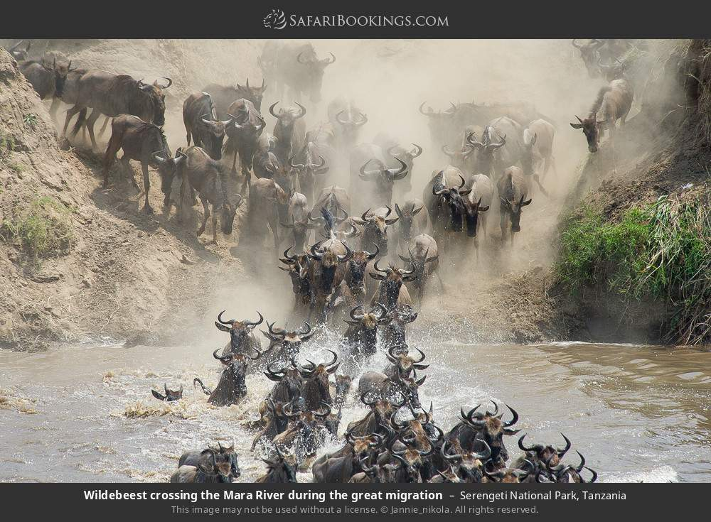 Wildebeest crossing the Mara River during the great migration in Serengeti National Park, Tanzania