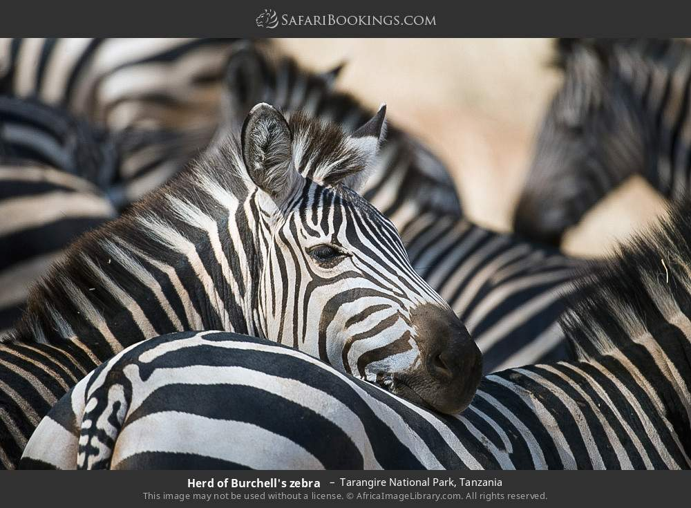Herd of Burchell's zebra  in Tarangire National Park, Tanzania