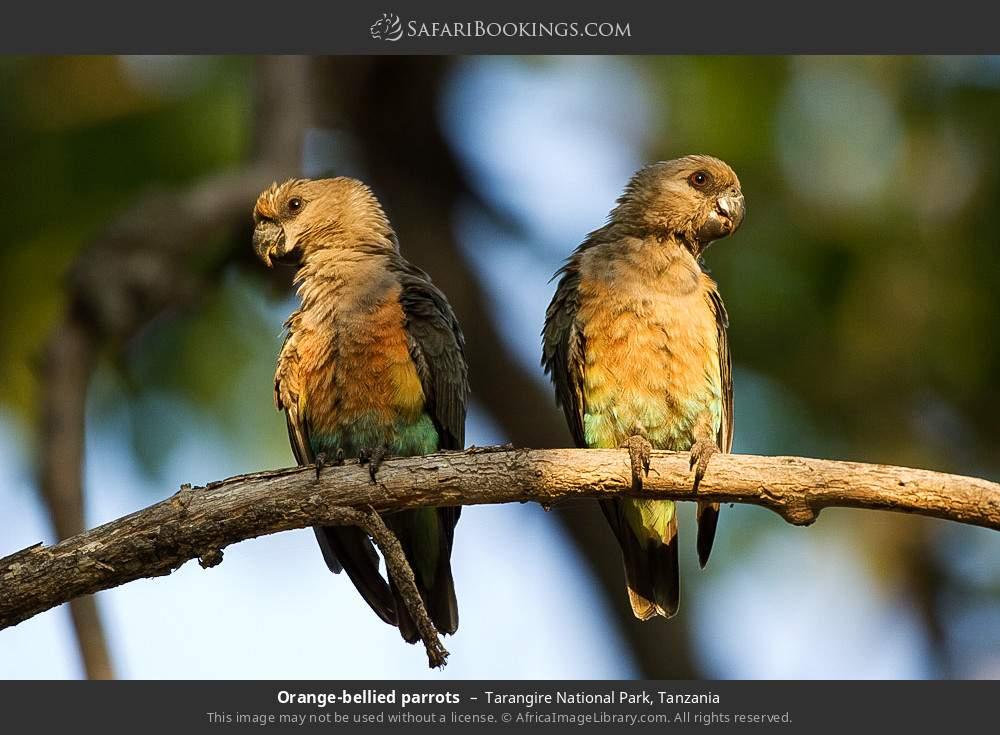 Orange-bellied parrots in Tarangire National Park, Tanzania