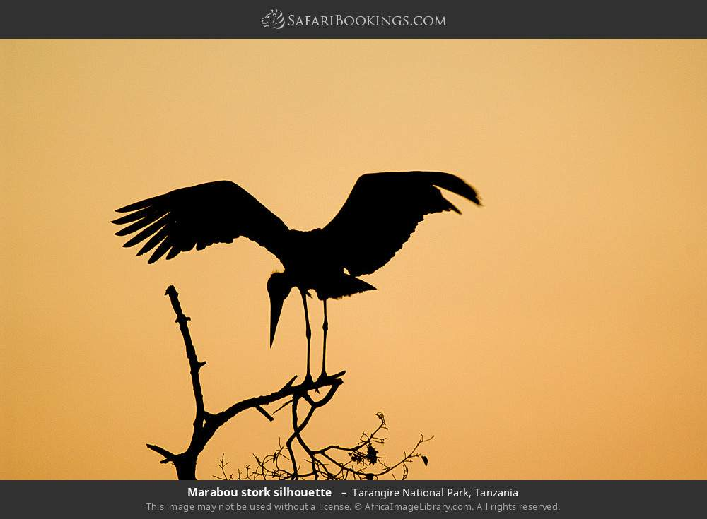Marabou stork silhouette  in Tarangire National Park, Tanzania