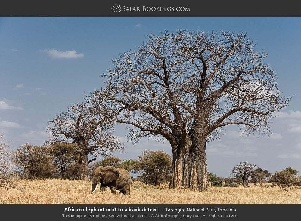 African elephant next to a baobab tree in Tarangire National Park, Tanzania