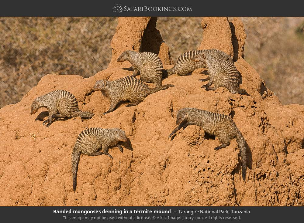 Banded mongooses denning in a termite mound in Tarangire National Park, Tanzania