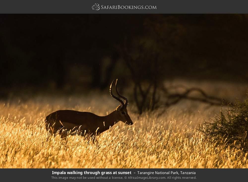 Impala walking through grass at sunset in Tarangire National Park, Tanzania