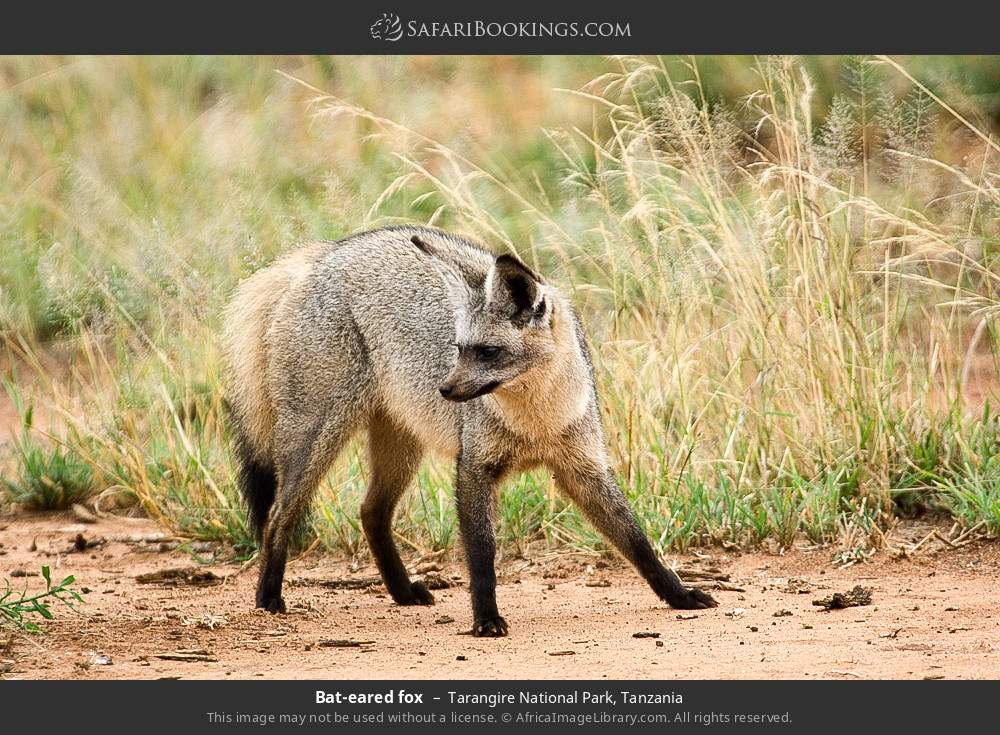 Bat-eared fox in Tarangire National Park, Tanzania