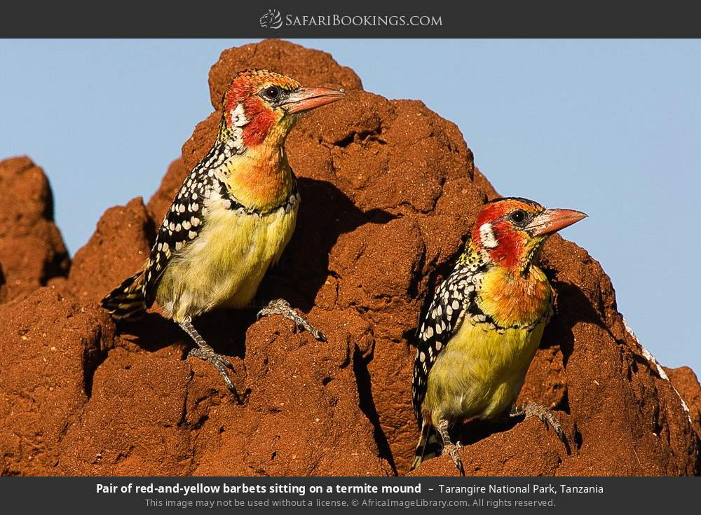 Pair of red-and-yellow barbets sitting on a termite mound in Tarangire National Park, Tanzania